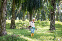 spraying herbicides at oil palm