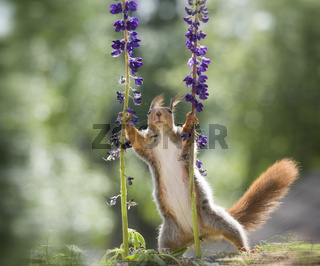red squirrel is holding lupine flowers
