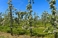 Blühende Apfelbäume in Niederstamm-Kultur zur Blüte, Kanton Thurgau, Schweiz