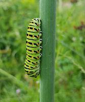 Raupe, Schwalbenschwanz, Papilio, machaon