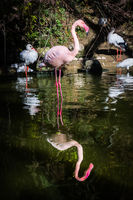 Flamingo One Leg Standing Water Pink Reflection Symmetric Pond Lake Zoo Exotic Animal Bird Looking at Camera