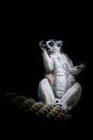 A lemur is sitting on a rope in front of black background