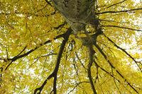 Hainbuche, Weißbuche, Carpinus betulus