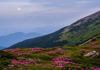 Rhododendron flowers on summer early morning mountains and full Moon