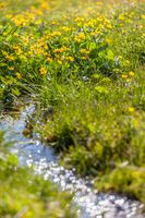 Marsh marigold flowers (Caltha palustris) and small mountain stream
