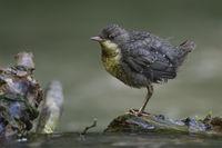 auf Augenhöhe... Wasseramsel *Cinclus cinclus*, gerade eben flügger Jungvogel