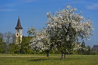 Blühende Apfelbäume an der katholischen Kirche Winzelnberg in Steinebrunn, Thurgau, Schweiz