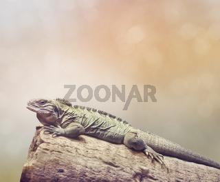 Large iguana resting