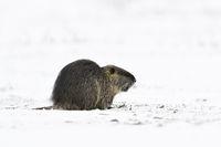 im Winter... Nutria * Myocastor coypus * im Schnee auf einer Wiese am Niederrhein