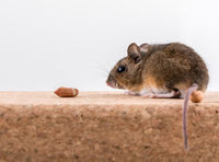 Side view of a wood mouse, Apodemus sylvaticus, sitting on a cork brick with light background, sniffing some peanuts