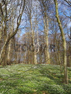 Springtime forest with many wood anemones.