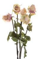 Vertrocknete Rosen vor weißem Hintergrund