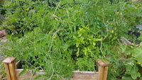 Hochbeet, Tomaten, Lycopersicon, esculentum
