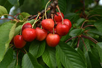 Sueßkirschen, prunus avium, sweet cherries