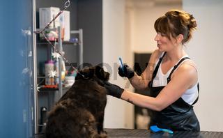 pet hairdresser woman cutting fur of cute black dog