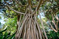 Pandanus utilis tree, the common screwpine , aerial roots