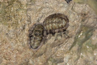 marine clam chiton that is attached to a rock in the tidal strip of the Caribbean sea