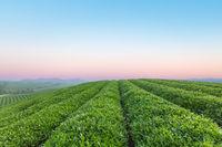 tea plantation at dawn