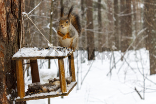 Red squirrel in the winter forest