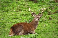 Deer Rest on the Grass