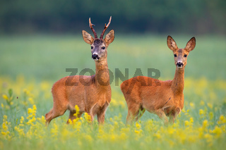Roe deer couple in rut on a field with yellow wildflowers