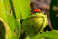 Lily leaf beetle, Lilioceris lilii