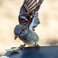 Sparrow in natural environment