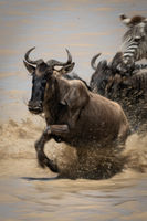 Blue wildebeest crosses lake with other animals