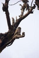 Spotted owlet, Athene brama, Bandhavgarh Tiger Reserve, Madhya Pradesh, India