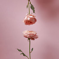 Composition. of pink roses presented on a pink background with copy space. Holiday card