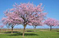 D--Mandelblüte in der Pfalz.jpg