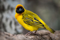 Masked weaver bird facing camera on log