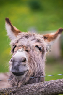 Closeup of a face of a furry donkey