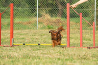 A young dachshund dog learns to jump over obstacles in agility training.