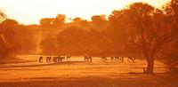 Springböcke im Sonnenaufgang, Kgalagadi-Transfrontier-Nationalpark, Südafrika, (Antidorcas marsupialis) | Springboks at sunrise, Kgalagadi Transfrontier National Park, South Africa, (Antidorcas marsupialis)