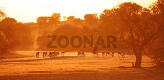 Springböcke im Sonnenaufgang, Kgalagadi-Transfrontier-Nationalpark, Südafrika, (Antidorcas marsupialis)   Springboks at sunrise, Kgalagadi Transfrontier National Park, South Africa, (Antidorcas marsupialis)