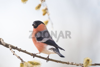 male bullfinch on a willow branch