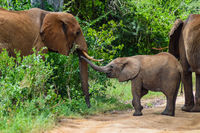 An elephant and his little. One in a walk