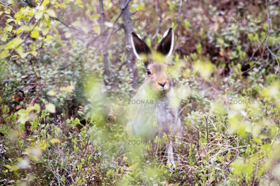 Funny snout hare hiding in the bushes