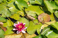 Purple water lilly on the wild pond