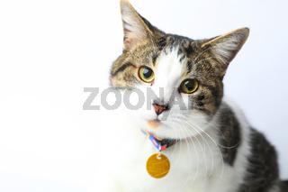Beautiful portrait adult cat on white background