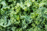 Freshly washed and trimmed kale leaves ready for salad or cooking