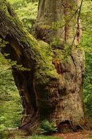Alter Baum im Urwald Sababurg