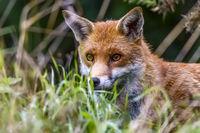 Alert Fox (Canidae Vulpini ) Berkshire UK