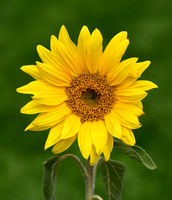 Sonnenblume, Helianthus, annuus, Oelpflanze