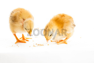 Cute chicks isolated