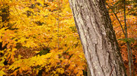 Marbled Bark Thick Tree Fall Color Seasonal Leaves Forest
