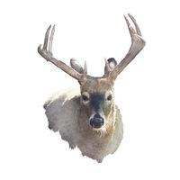 Deer head watercolor