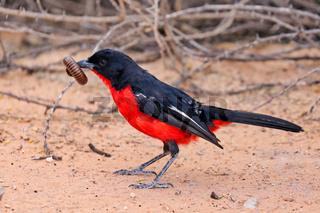 Rotbauchwuerger mit einem Riesentausendfüßer, Kgalagadi-Transfrontier-Nationalpark, Südafrika, (Laniarius atrococcineus) | crimson-breasted shrike with a giant millipede, Kgalagadi Transfrontier National Park, South Africa, (Laniarius atrococcineus)