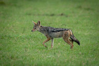 Black-backed jackal trotting over grass in shade